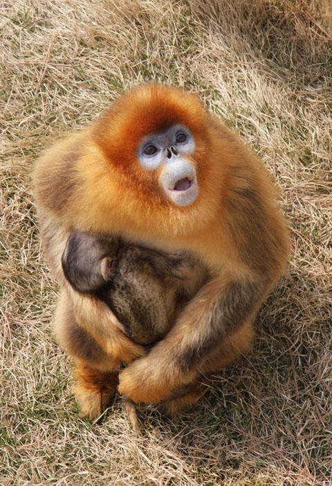 母女同月生子 西霞口野生动物园喜得两只金丝猴_西霞口_金丝猴_旅游